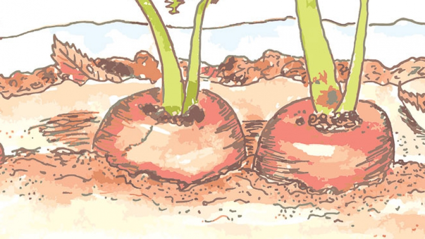 Rooted vegetables